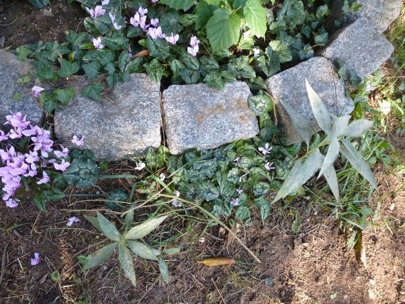 Cyclamens de Naples de mon jardin  P1220714