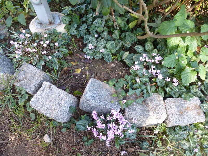 Cyclamens de Naples de mon jardin  P1220715