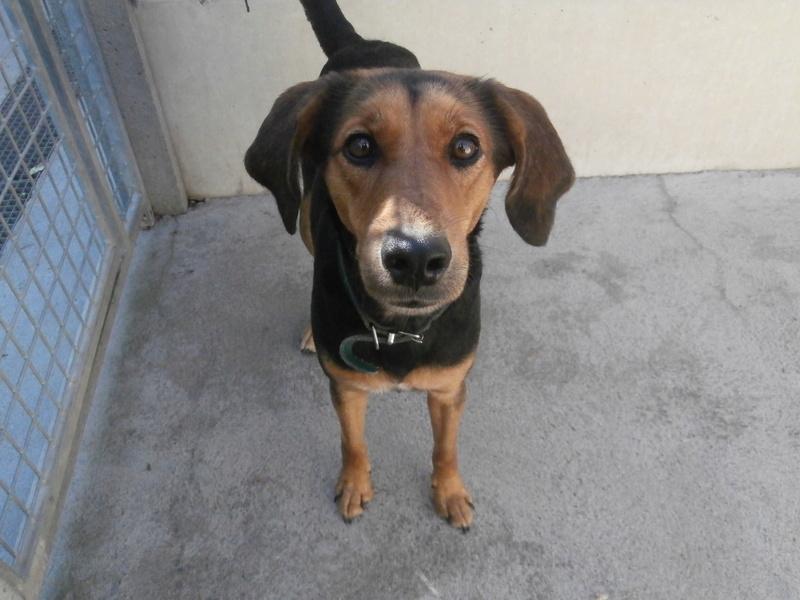 BADY (mâle croisé beagle) P9074511