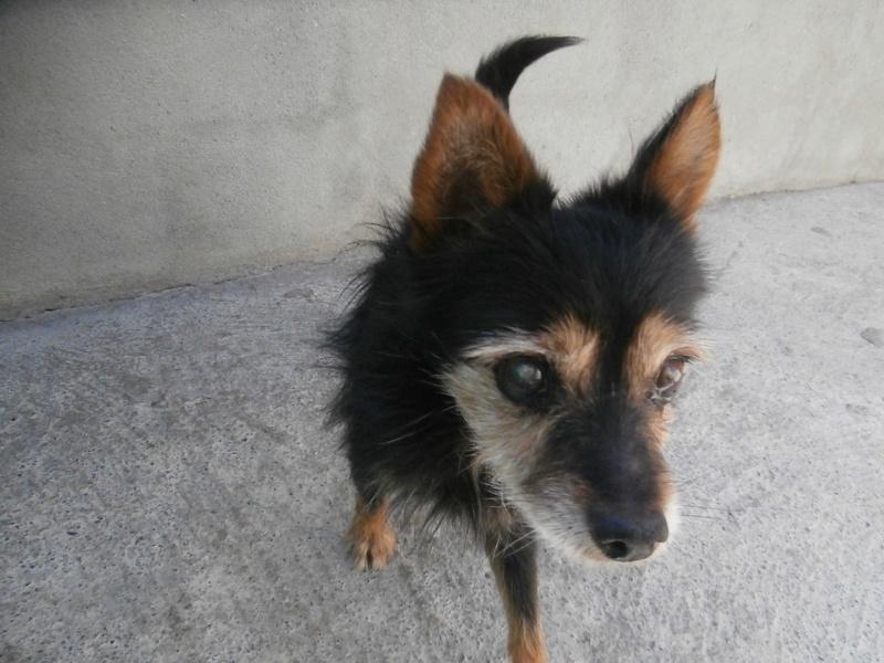 IOGI (mâle croisé chihuahua) P9074513