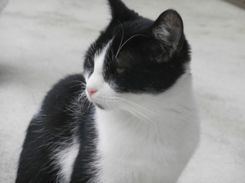 KAHAN (chaton noir et blanc) P9214545
