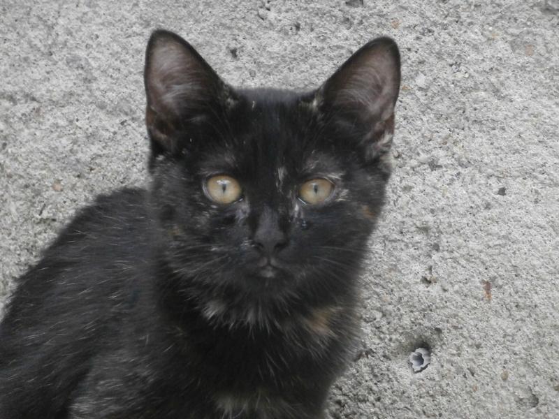 KALIE (chaton femelle écaille de tortue) P9214550