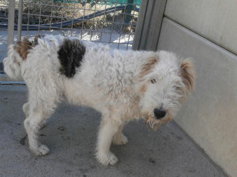 JONQUILLE (femelle fox terrier) P9244610