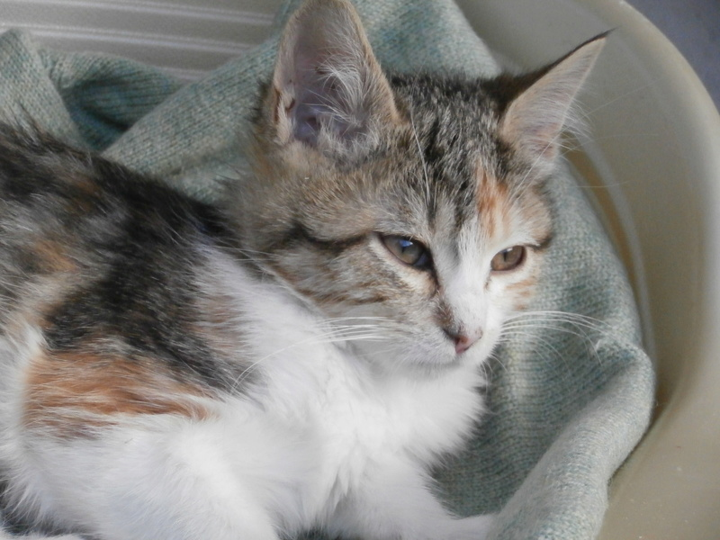 FLORE (chaton femelle tigrée et blanche) Pa295123