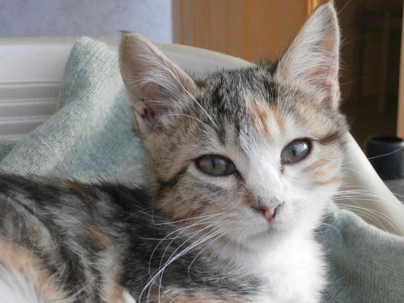 FLORE (chaton femelle tigrée et blanche) Pa295124