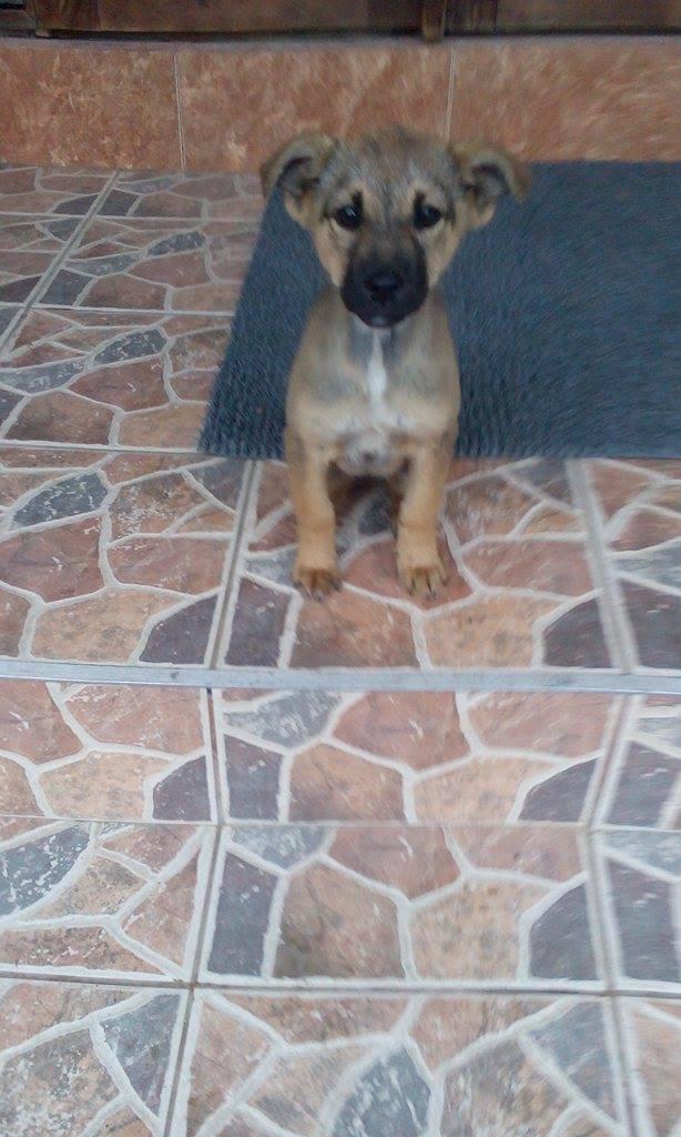 NOREILLES - chiot femelle, taille moyenne, née juin 2016 env - CHEZ LUCIAN - décédée 14689210