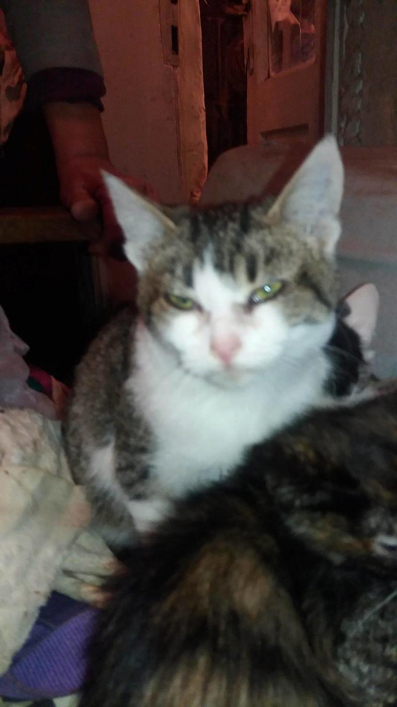 MYSURY - chat femelle née environ avril 2016 - CHEZ LUMINITA 14689211