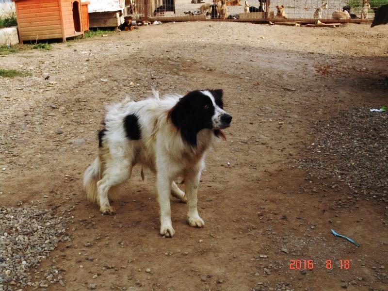 CODY, mâle, handicapé, croisé de taille moyenne, né en 2014 (Pascani) - REMEMBER ME LAND - En FA chez Annabel (38) - Page 2 Dsc00313