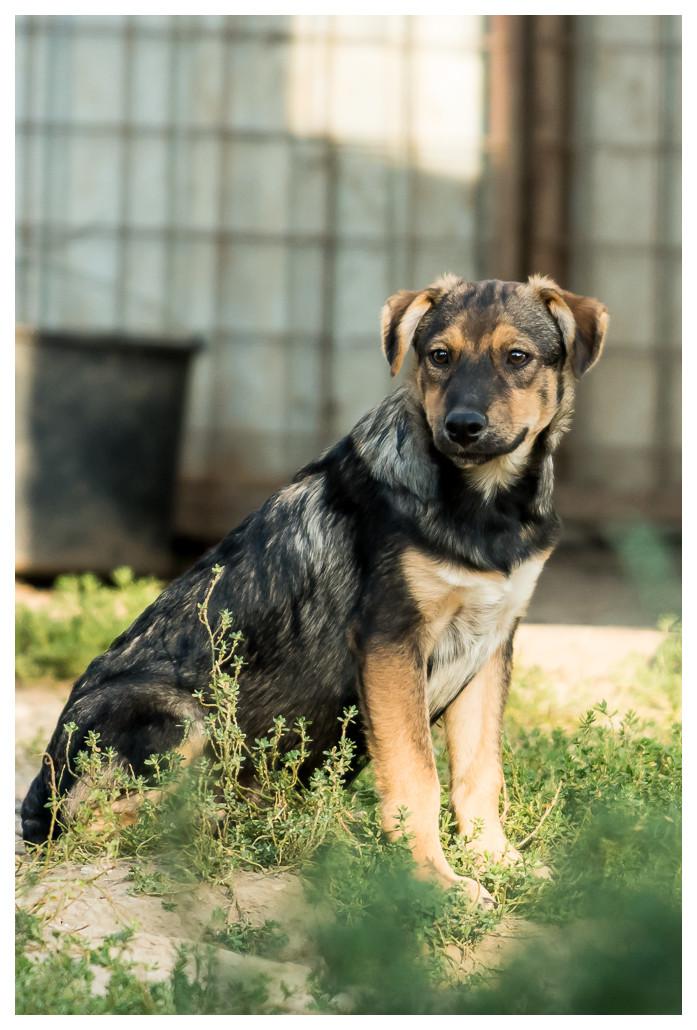 SHADOW -  mâle, croisé, de taille moyenne, né en mai 2016 - CARMINA BUCAREST Shadow17