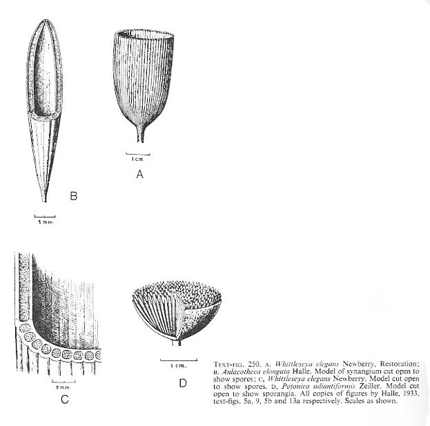 Flore Carbonifère des Alpes Françaises part 1 - Page 4 File3710