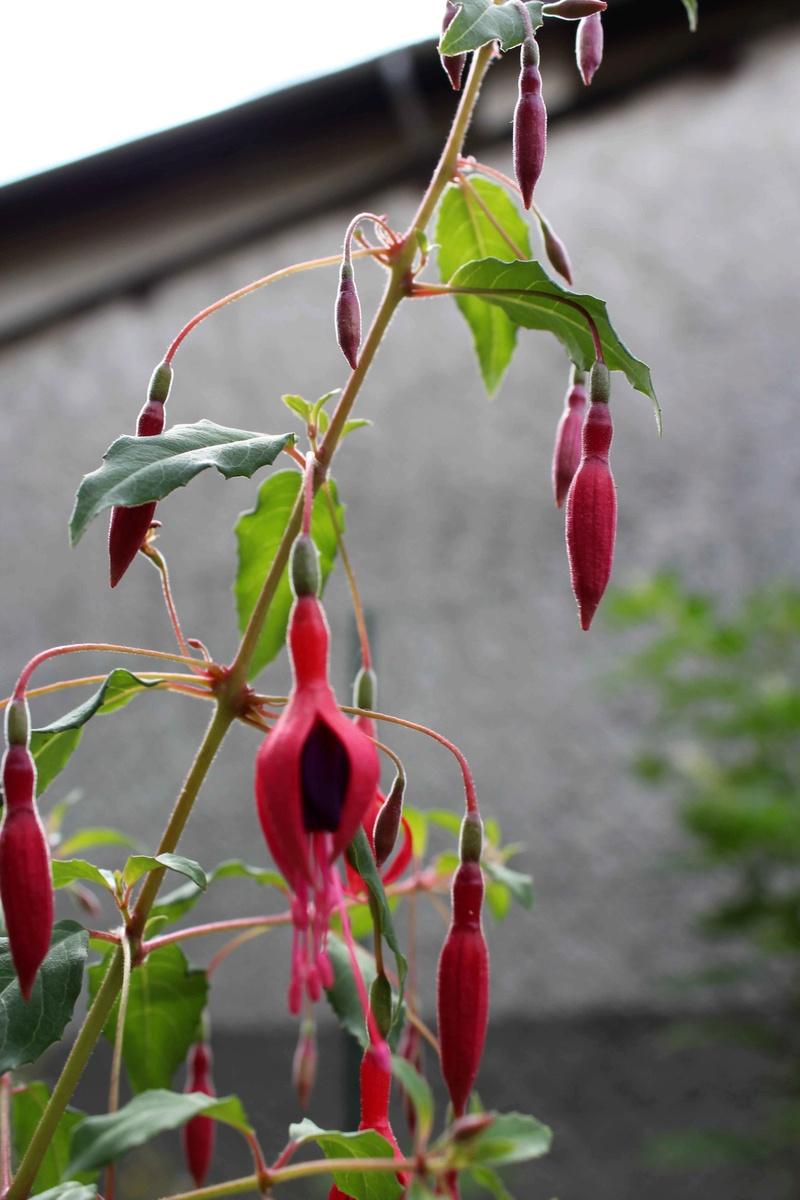 Une inconnue à fleurs rouges dans mon jardin   Img_0110