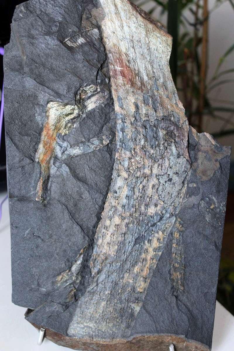 Flore Carbonifère des Alpes Françaises part 1 - Page 4 Img_0122