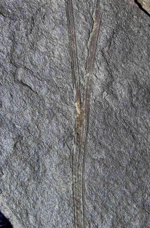 Flore Carbonifère des Alpes Françaises part 1 - Page 4 Img_0511