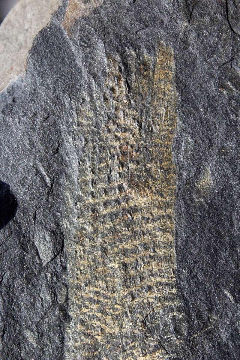 Flore Carbonifère des Alpes Françaises part 1 - Page 5 Img_0740