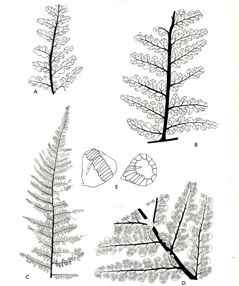 Flore Carbonifère des Alpes Françaises part 1 - Page 4 Oligoc10