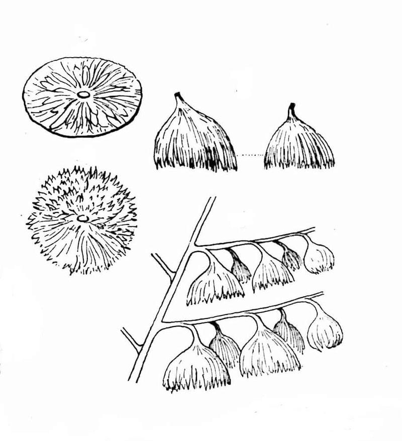 Flore Carbonifère des Alpes Françaises part 1 - Page 4 Organe11