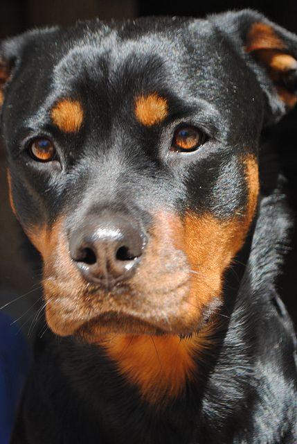 Rottweiler : On vous dit pourquoi il ne faut SURTOUT PAS en adopter un ! Face-d10