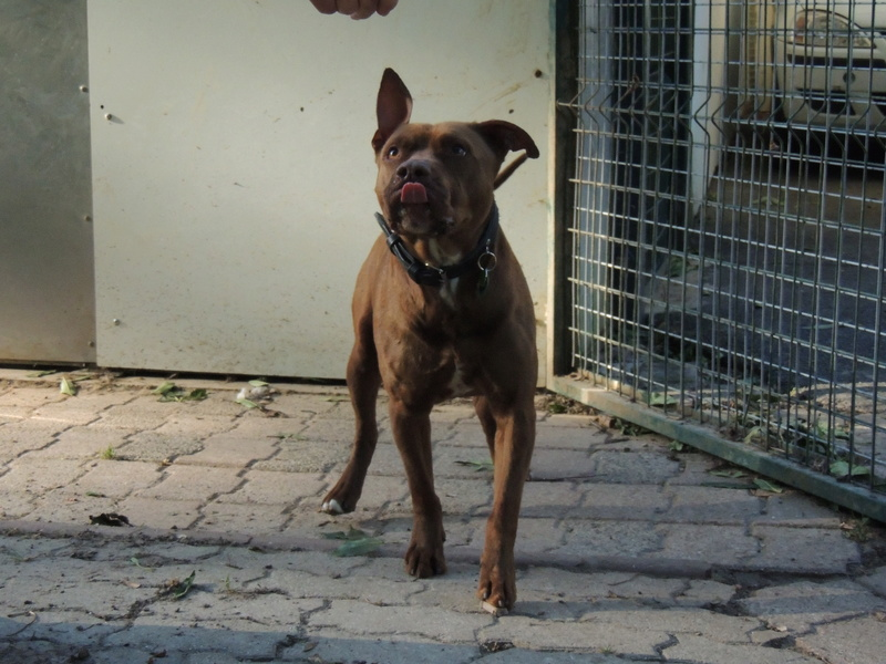 MARLEY- Staffordshire Bull Terrier =Staffie - Page 2 Mercre41