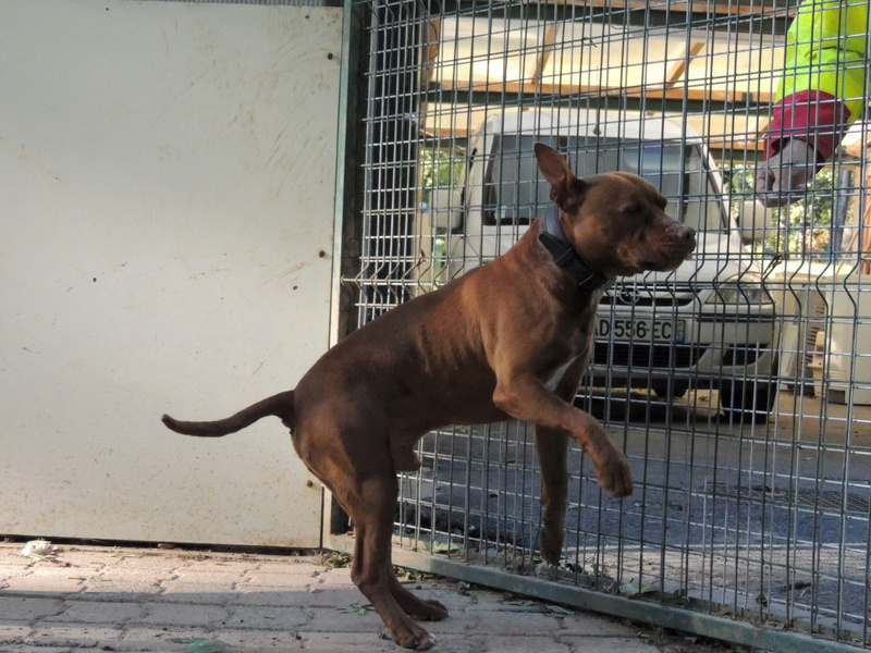 MARLEY- Staffordshire Bull Terrier =Staffie - Page 2 Mercre42