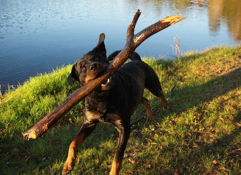 Rottweiler : On vous dit pourquoi il ne faut SURTOUT PAS en adopter un ! Rottwe10