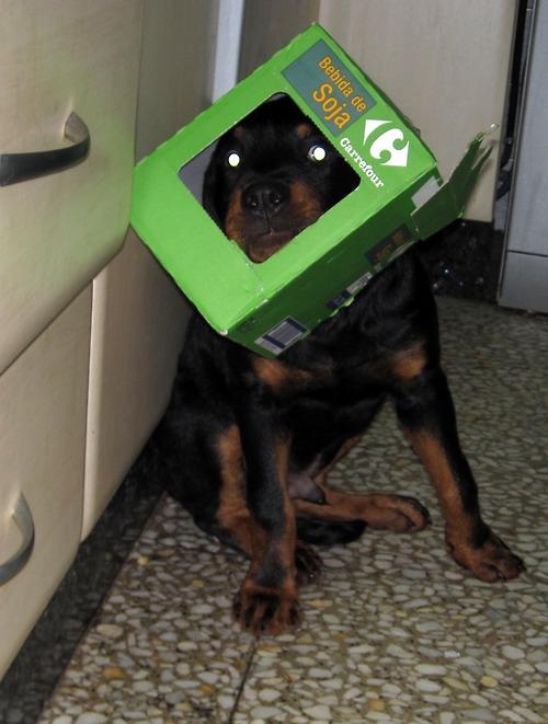 Rottweiler : On vous dit pourquoi il ne faut SURTOUT PAS en adopter un ! Rottwe11