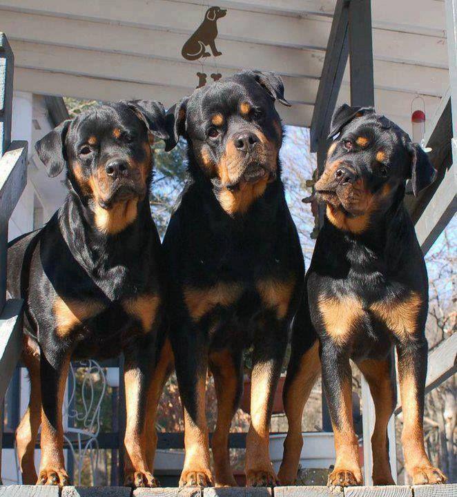 Rottweiler : On vous dit pourquoi il ne faut SURTOUT PAS en adopter un ! Rottwe12