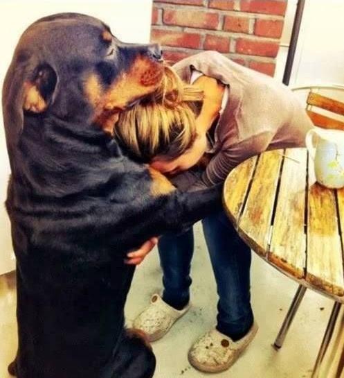 Rottweiler : On vous dit pourquoi il ne faut SURTOUT PAS en adopter un ! Rottwe13