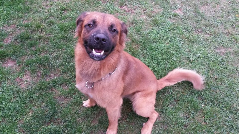 ARIEL CROISE MALINOIS 1 AN MALE  20160911