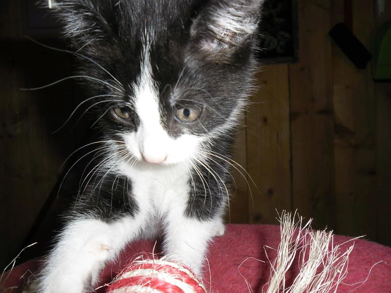 Marko, joli chaton de 2 mois et demi Marko10