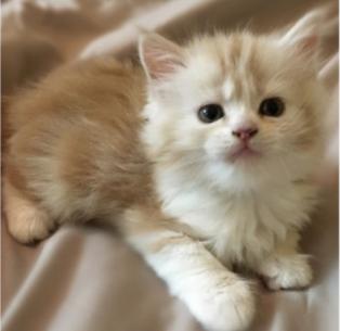 قطط شيرازية اليفين 1010
