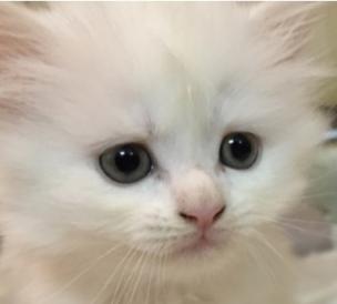 قطط شيرازية اليفين 1110