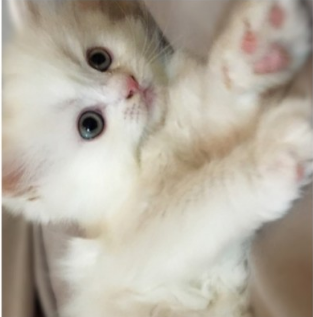 قطط شيرازية اليفين 1210