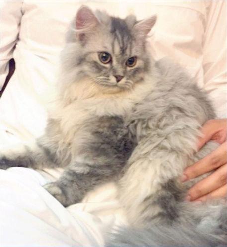قطه شيرازية عمرها 6 شهور 1510