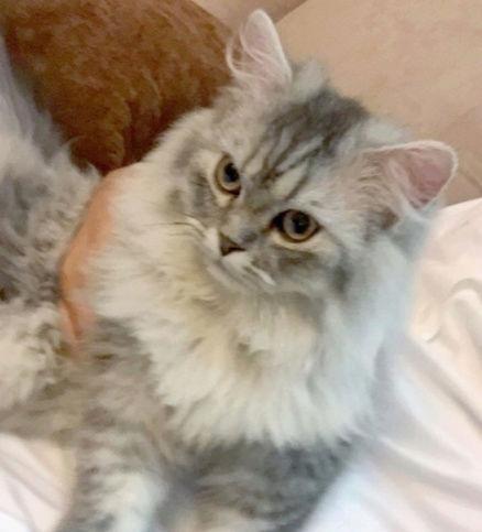 قطه شيرازية عمرها 6 شهور 1610