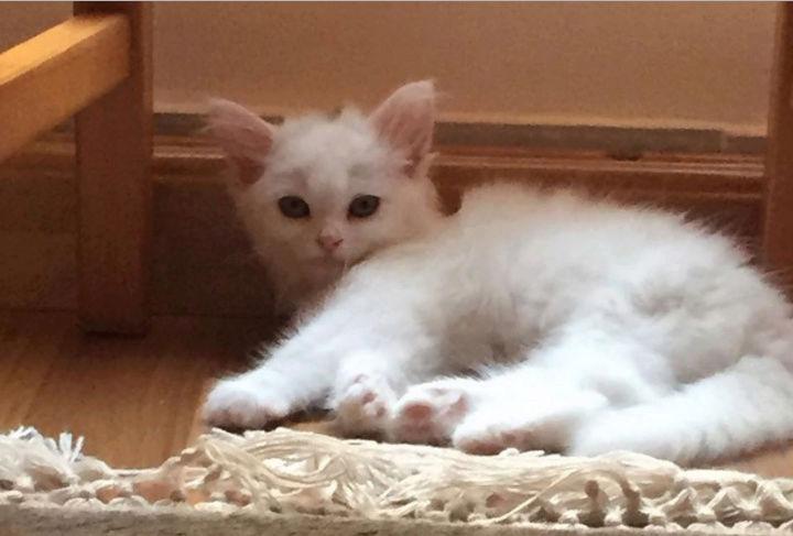 قطة بسة بيضاء للبيع في جده 1710