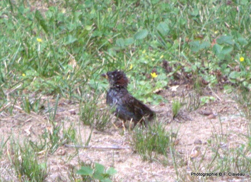 petit oiseau à id Dsc_0010