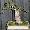 Carpinifolia elm Elm_0010