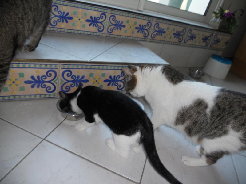 Milo tigré et blanc, adorable pot de colle à Niort Dscn4911
