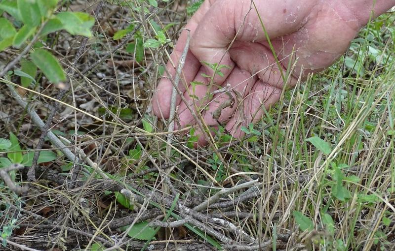 Astrophytum caput-medusae 00210