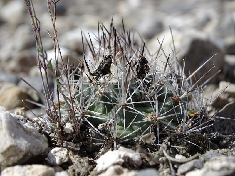 Gymnocactus beguinii ssp. hintoniorum 10411