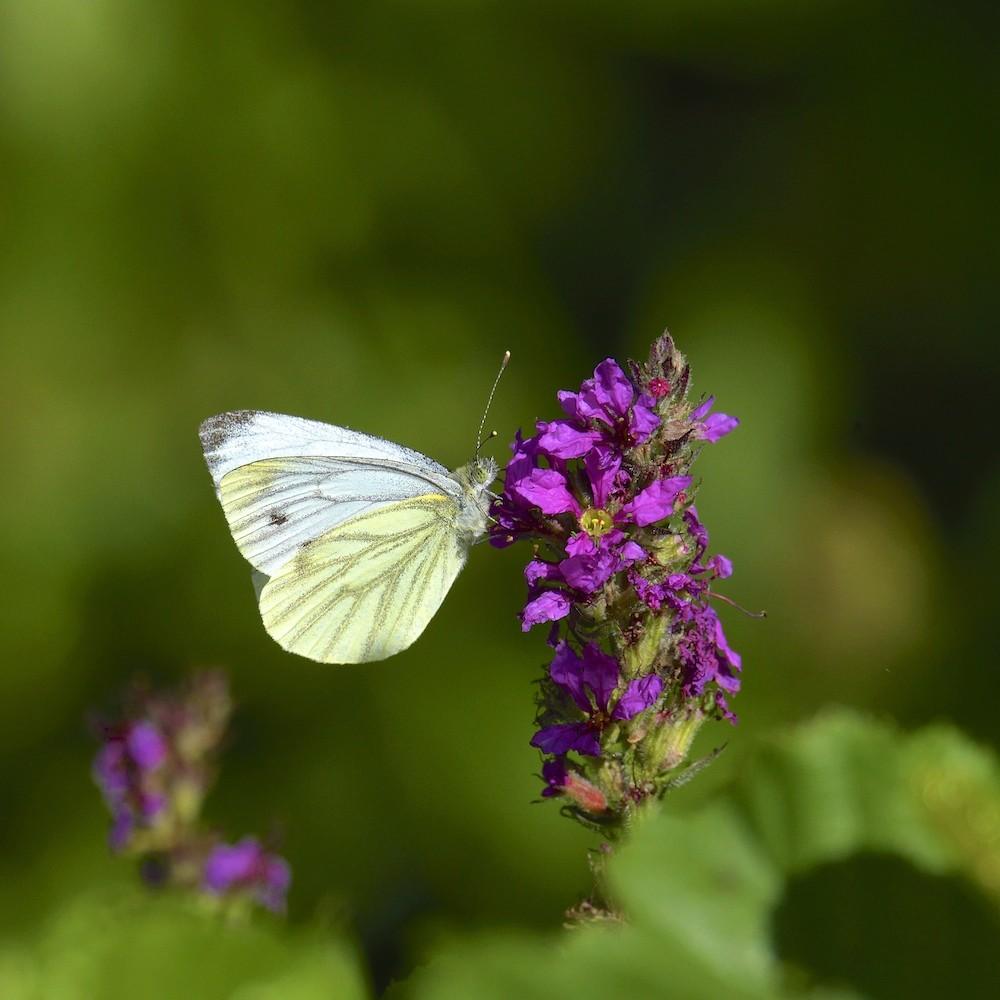 Papillon - Remerschen Dsc_4610