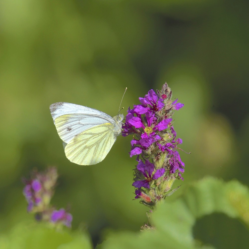 Papillon - Remerschen Dsc_4611