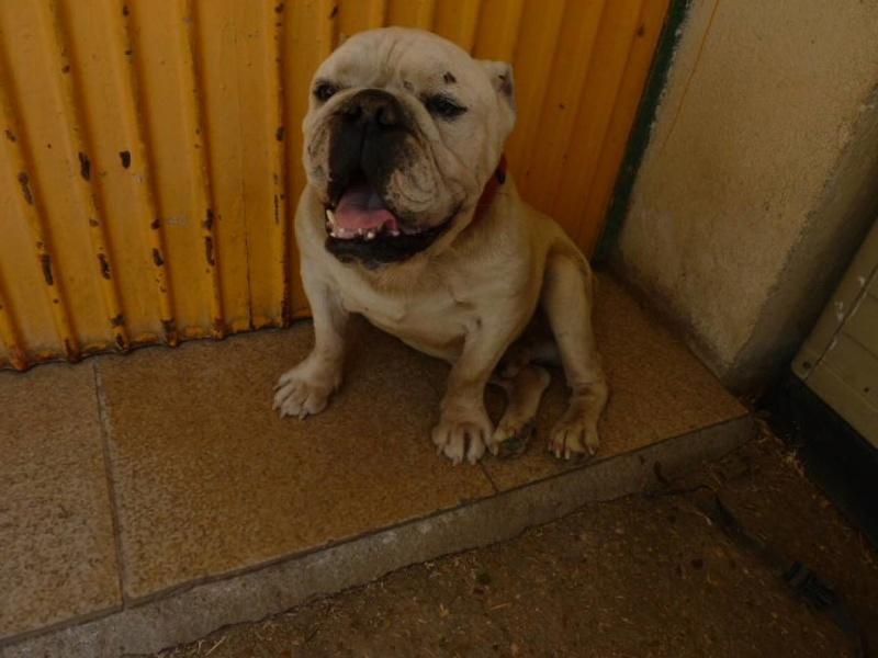Izan, bulldog anglais, 8 ans 14138610