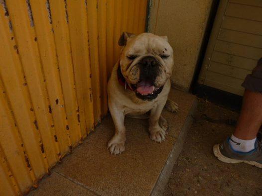 Izan, bulldog anglais, 8 ans 14142010