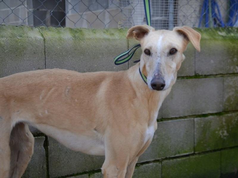 SABRINA galga blanche et crème, 3 ans 1/2  Scooby France  Dsc_0111