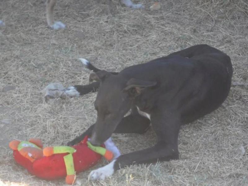 NEGRITO, galgo noir, 4 ans Adopté  K640_d12