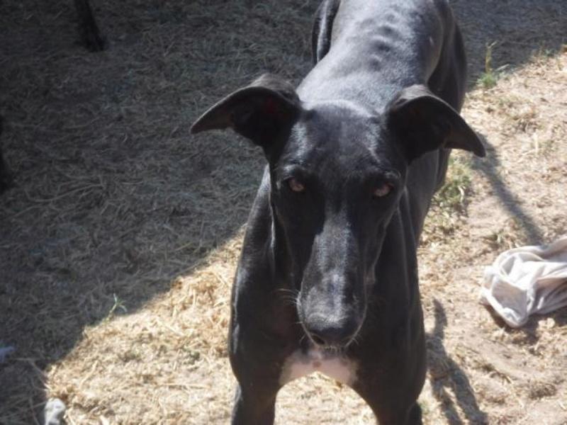 NEGRITO, galgo noir, 4 ans Adopté  K640_d14