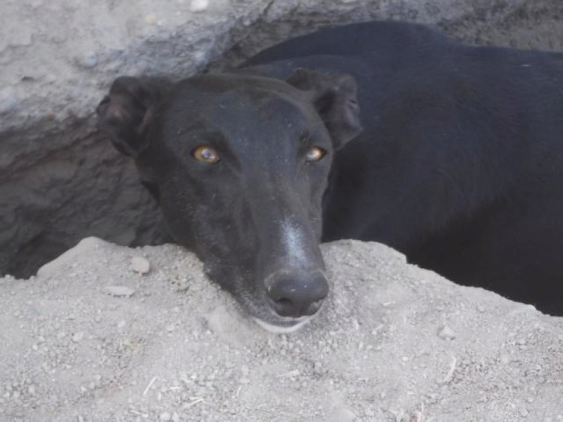 NEGRITO, galgo noir, 4 ans Adopté  K640_d16