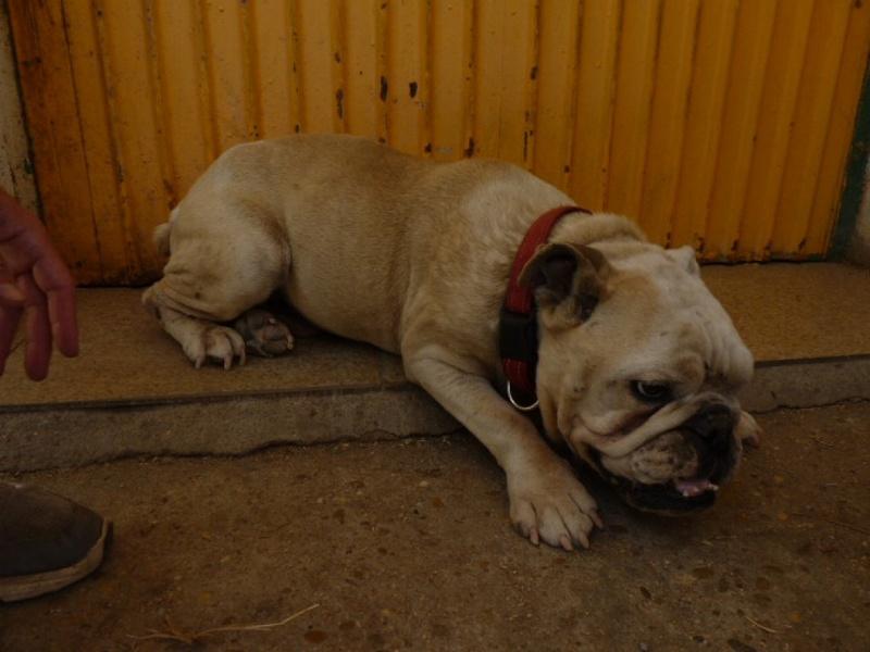Izan, bulldog anglais, 8 ans P1350410