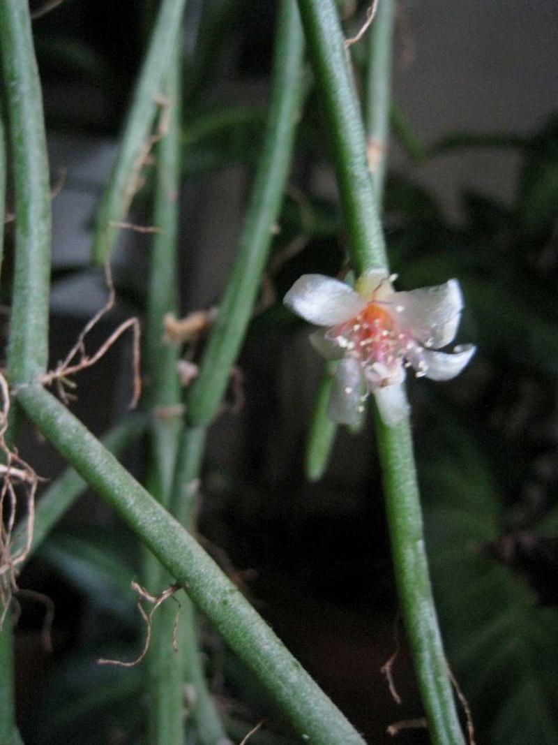 rhipsalis baccifera Rhipsa11